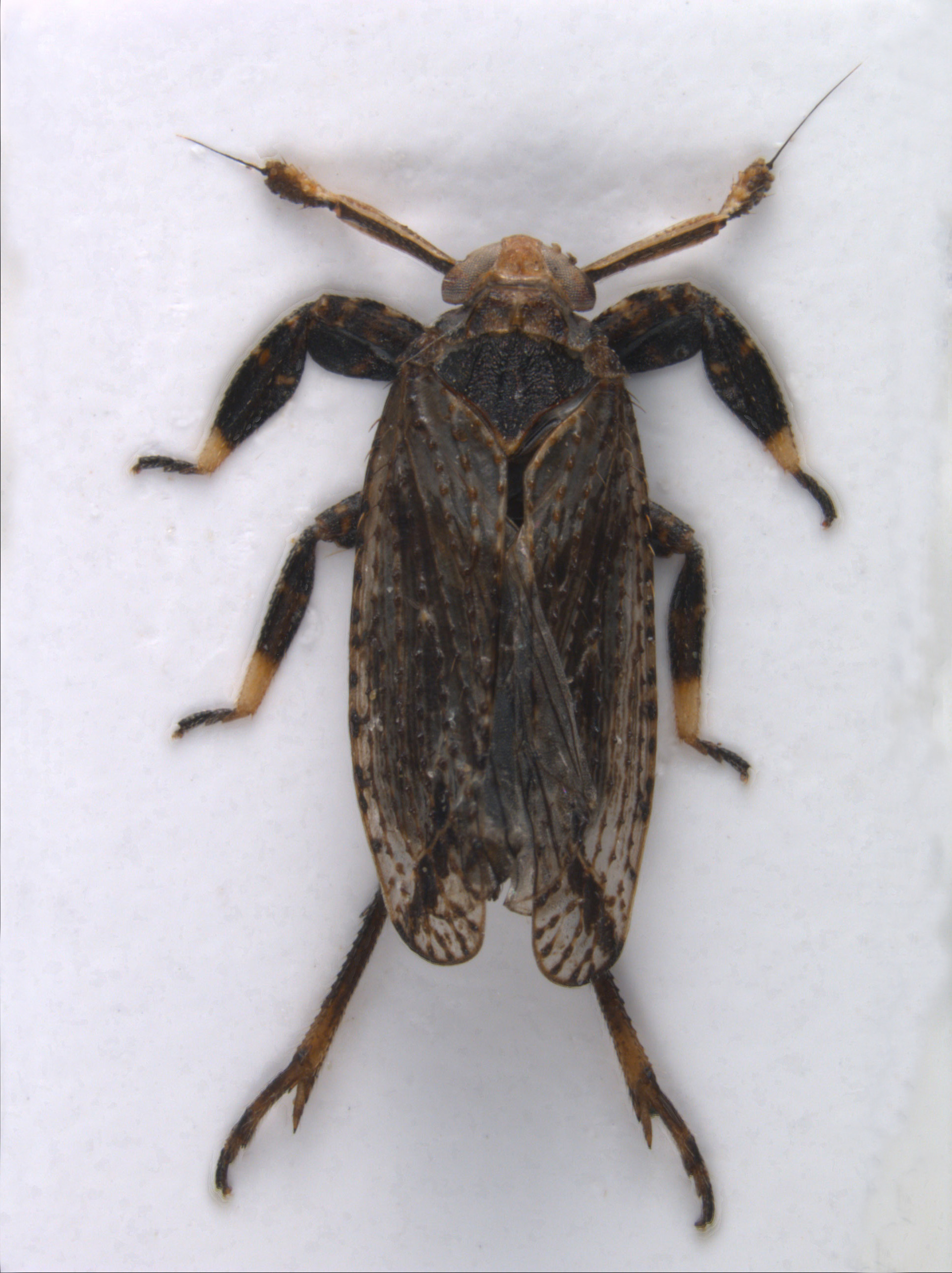 Asiraca-clavicornis-02a