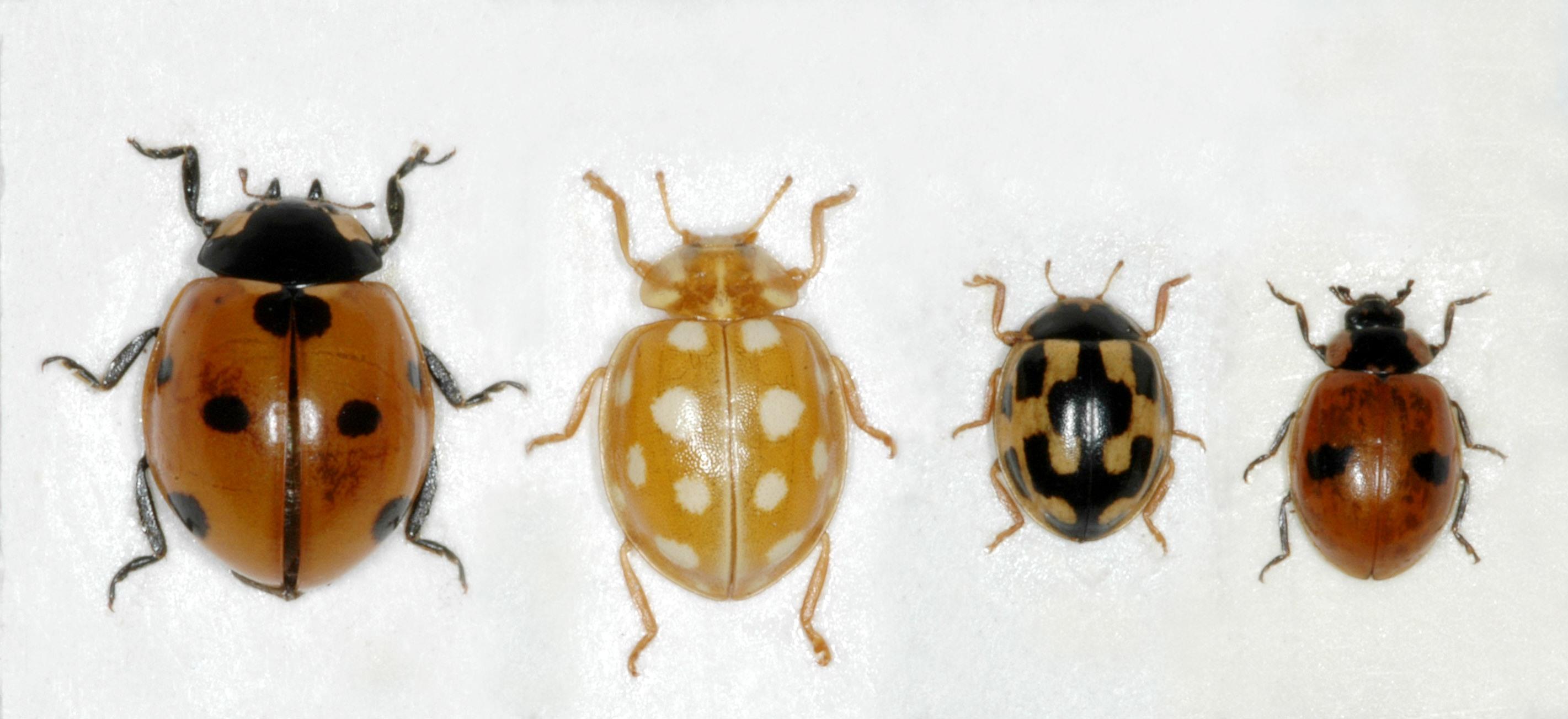 Coccinellidae Trøndelag 2 (2)