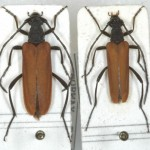 Nivellia sanguinosa couple