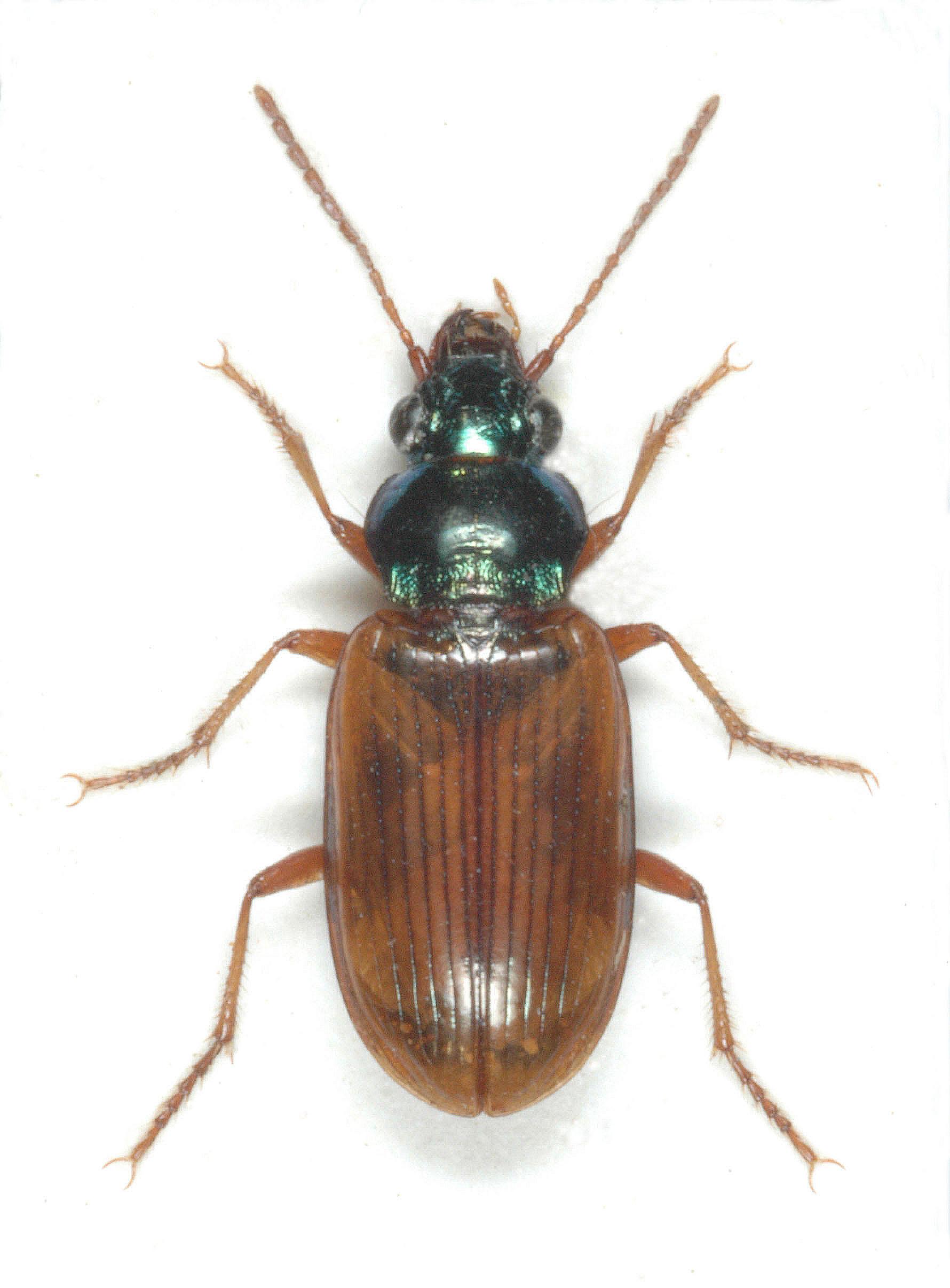 Pogonus luridipennis 1