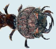 Sandjeger larve