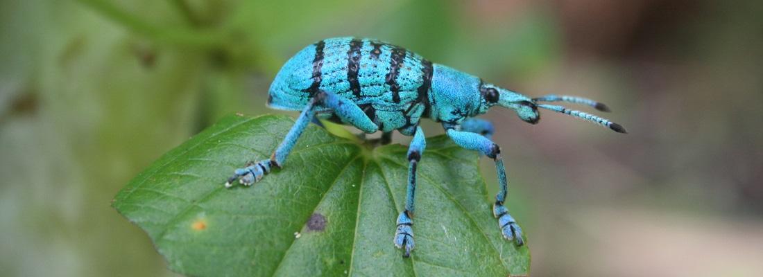 blå snutis lengdeformat2