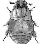 Platypsyllus castoris