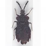 Aradidae