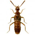 Bolitochara