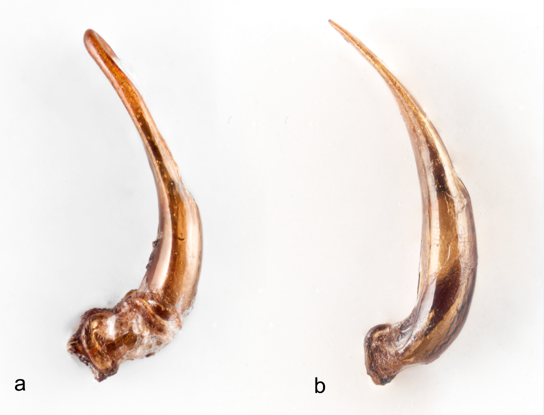Genitaliene til a) Galerucella anserina sp. nov. og b) Galerucella tenella. Foto: A. Staverløkk.